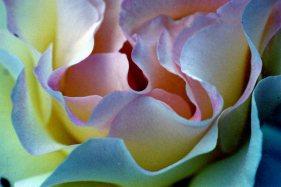 rosae190